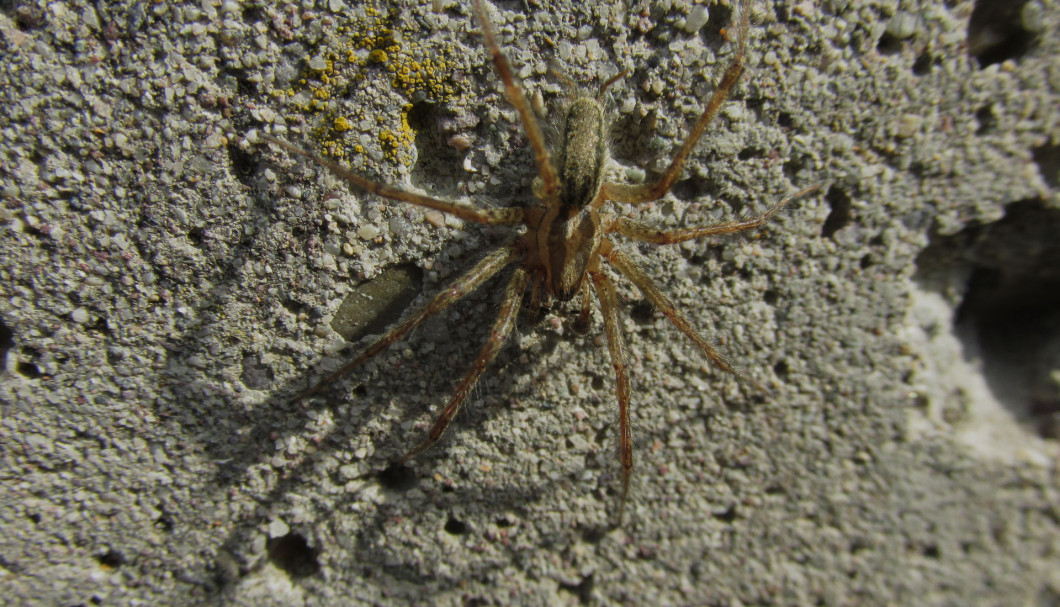 how to get rid of hobo spiders naturally